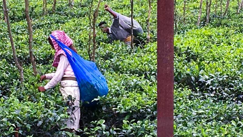 Workers in the tea gardens around Naxalbari